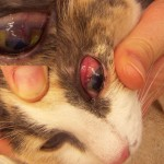 cats with eye infections , 7 Cat Eye Infection Pictures You Should Consider In Cat Category