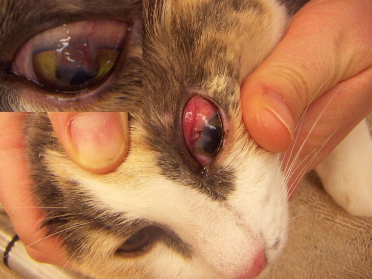 Cat , 7 Cat Eye Infection Pictures You Should Consider : Cats With Eye Infections