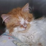 cats with ringworm , 5 Charming Pictures Of Cats With Ringworm In Cat Category