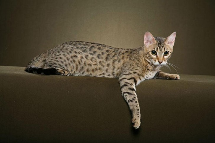 Cat , 7 Charming Pictures Of Bengal Cats : Cats