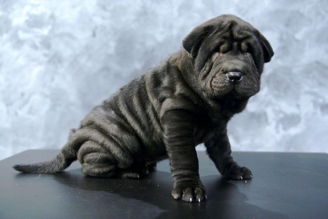 Dog , 7 Cute Pictures Of Shar Pei Dogs : Chinese Shar Pei