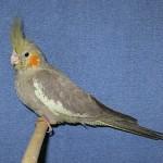 cinnamon cockatiel pop , 8 Charming Cinnamon Cockatiel In Birds Category