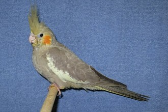 cinnamon cockatiel pop in Laboratory