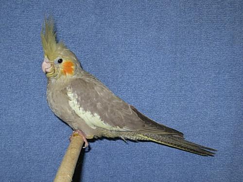 Birds , 8 Charming Cinnamon Cockatiel : Cinnamon Cockatiel Pop