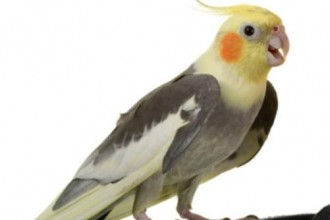 Cockatiel , 7 Nice Cockatiel Prices In Birds Category