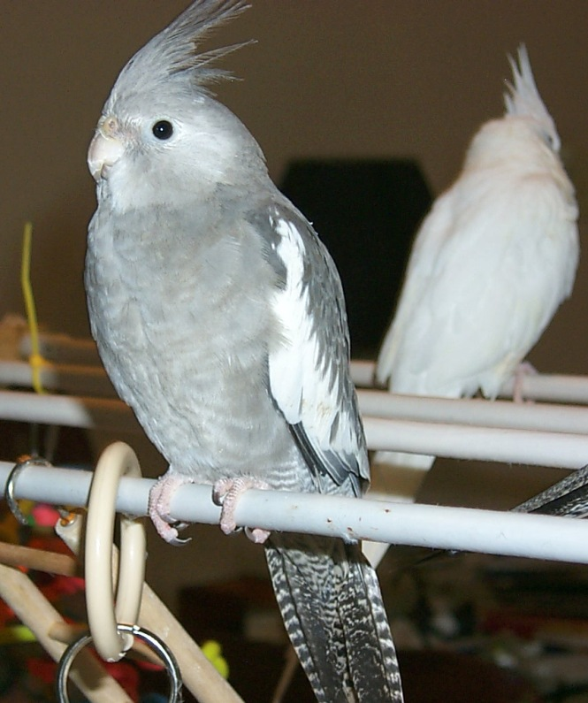 cockatiel Species