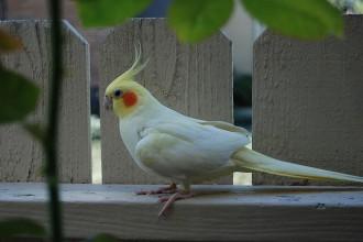 Cockatiel Lutino , 7 Nice Lutino Cockatiel In Birds Category