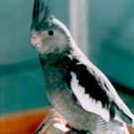 cockatiel pictures , 7 Nice Types Of Cockatiels In Birds Category