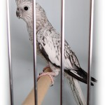 cockatiel sounds , 7 Good Cockatiel Cottage In Birds Category