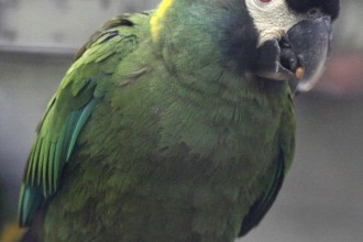 Collared Macaw , 7 Gorgeous Yellow Collared Macaw In Birds Category