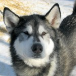 cute dog pictures , 7 Nice Pictures Of Sled Dogs In Dog Category
