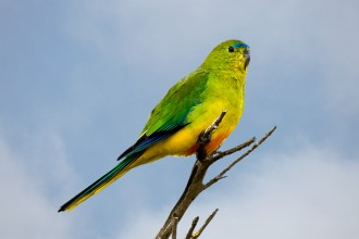 Description Of Parrot , 7 Lovely Orange Bellied Parrot In Birds Category