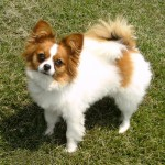 dog Papillon , 4 Beautiful Pictures Of Papillon Dogs In Dog Category