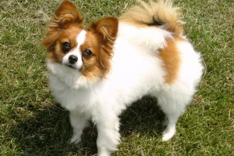 dog Papillon in Cat