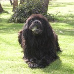 dog breeds , 7  Lovely Pictures Of Newfoundland Dogs In Dog Category