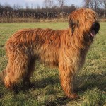 dog breeds medium to large , 6 Gorgeous Big Dog Breeds List And Pictures In Dog Category