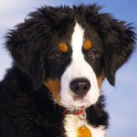 dog breeds , 7 Charming Bernese Mountain Dog Pictures In Dog Category