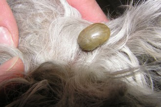 Dog Fleas , 7 Hottest Pictures Of Fleas On Dogs In Dog Category