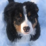 dog for sale , 5 Fabulous Pictures Of Bernese Mountain Dogs In Dog Category