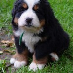 dog training tips , 5 Fabulous Pictures Of Bernese Mountain Dogs In Dog Category