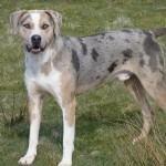 dogs , 7 Gorgeous Catahoula Dog Pictures In Dog Category