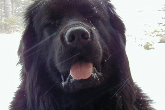 Dogs Newfoundland , 7  Lovely Pictures Of Newfoundland Dogs In Dog Category