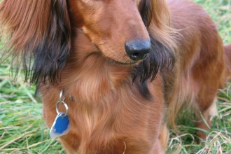Dogs Dachshund , 8 Fabulous Funny Weiner Dog Pictures In Dog Category
