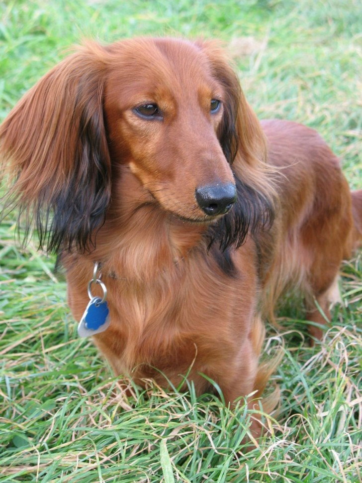 Dog , 8 Fabulous Funny Weiner Dog Pictures : Dogs Dachshund
