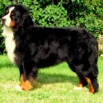 dogs pictures , 5 Fabulous Pictures Of Bernese Mountain Dogs In Dog Category