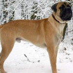dogs types list , 5 Popular Large Dog Breeds List With Pictures In Dog Category