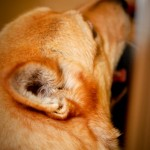 dogs with ear infections , 6 Superb Dog Ear Infection Picture In Dog Category