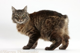 Domestic Cat , 8 Beautiful Pictures Of Manx Cats In Cat Category