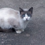 domestic cats , 6 Charming Snowshoe Cat Pictures In Cat Category