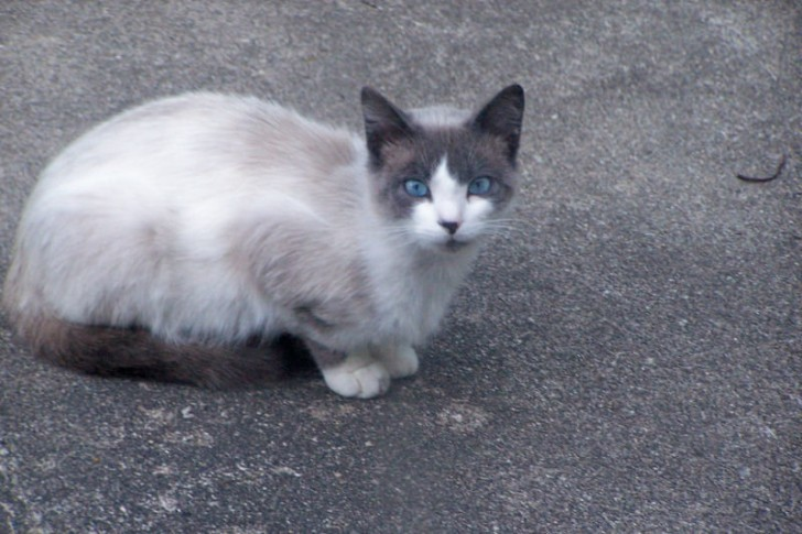 Cat , 6 Charming Snowshoe Cat Pictures : Domestic Cats