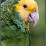eclectus parrot , 8 Cool Green Wing Macaw In Birds Category