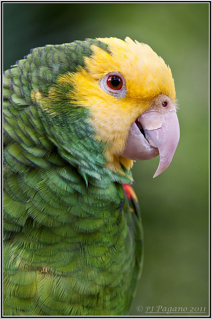Birds , 8 Cool Green Wing Macaw : Eclectus Parrot