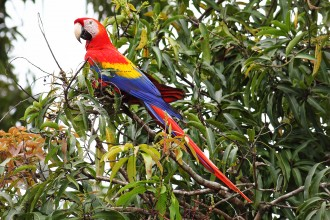 Eclectus Parrot , 7 Popular Scarlet Macaw In Birds Category