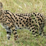 exotic cats , 7 Lovely Savannah Cat Pictures In Cat Category