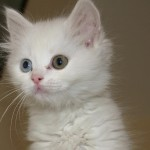 exotic  kittens , 6 Nice Color Of Cats In Cat Category