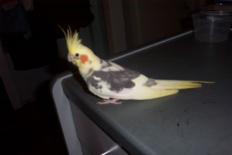 female pied cockatiel in Spider