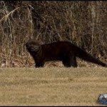 fisher , 6 Gorgeous Pictures Of Fisher Cats In Cat Category