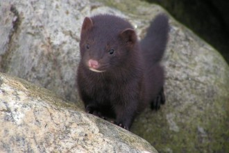 fisher cat image in Butterfly