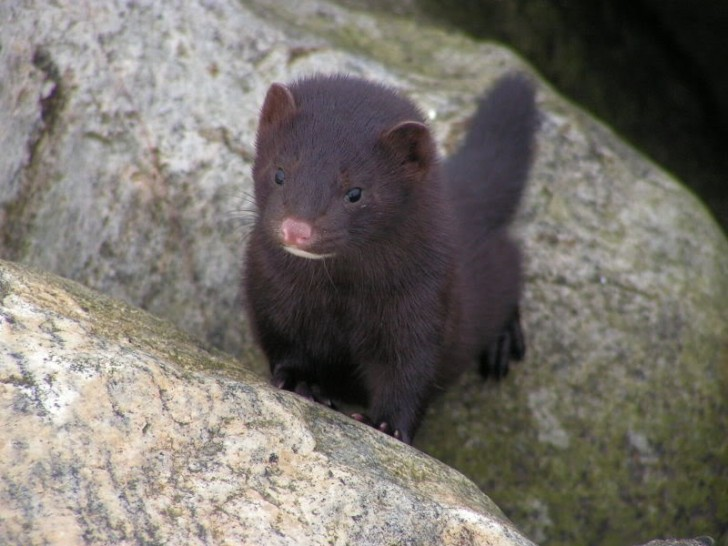 Cat , 6 Gorgeous Pictures Of Fisher Cats : Fisher Cat Image