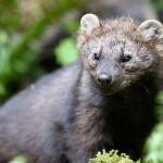 fisher fullbody , 7 Top Fisher Cat Pictures In Cat Category