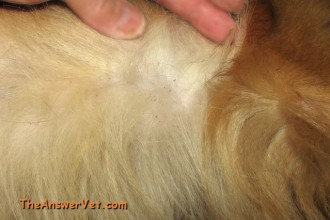 Flea Bites On Dogs , 7 Hottest Pictures Of Fleas On Dogs In Dog Category