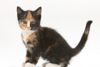 Free Images Cats , 6 Unique Pictures Of Tortoiseshell Cats In Cat Category