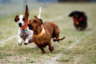Free Images Stock , 5 Perfect Wiener Dog Pictures In Dog Category