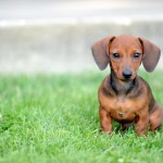 free royalty picture , 5 Perfect Wiener Dog Pictures In Dog Category