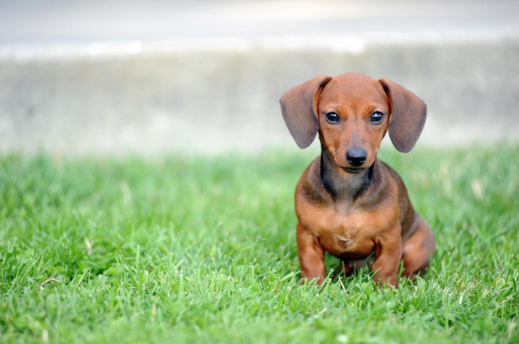 Dog , 5 Perfect Wiener Dog Pictures : Free Royalty Picture