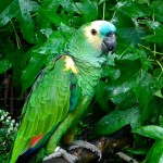 fronted Amazon Parrot , 8 Nice Blue Fronted Amazon Parrot In Birds Category